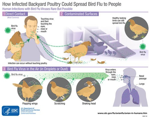 How Infected Backyard Poultry Could Spread Bird Flu to People
